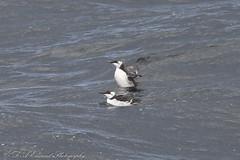 Guillemot (Dougie Edmond) Tags: scotland unitedkingdom ocean sea bird nature ferry boat ship wildlife