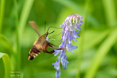Hummingbird Moth (Jamie Lenh Photography) Tags: nature wildlife insects hummingbirdmoth nikon tamron summer ontario canada