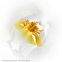 Out of White (WS Foto) Tags: flower blume white yellow highkey orchidee orchid weis gelb braun brown square quadrat