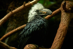 Black and White Casqued Hornbill (dmytrenko2) Tags: perching nesting bird parrot exotic nature portrait wildlife closeup feathers eyes headshot branch beautiful africa zoo endangered casqued hornbill single isolated