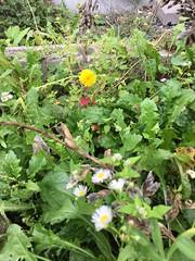 Late-Blooming Daisy (sjrankin) Tags: edited 15september2019 kitahiroshima hokkaido japan closeup flower garden weeds plants dandelion