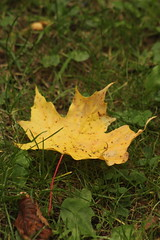 Leaf (historygradguy (jobhunting)) Tags: easton ny newyork upstate washingtoncounty leaf leaves autumn fall