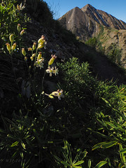 Silene In Situ (xjblue) Tags: 2019 mtnebo utah highpoint hike mountain mountains nature outdoor wasatch wildflower wasatchmountains flora
