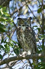 Great Horned Owl (Vaughn2045) Tags: owl bird greathornedowl animal wildlife nebraska nature outdoors sonyalpha sony