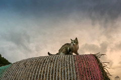 Sunrise On The Top Of The World (Xena*best friend*) Tags: catherinedeneuve cd haybale sunrise onthetopoftheworld cats whiskers feline katzen gatto gato chats furry fur pussycat feral tiger pets kittens kitty animals piedmontitaly piemonte canoneos760d italy wood woods wildanimals wild paws calico markings ©allrightsreserved purr digitalrebelt6s efs1855mmf3556is flickr outdoor animal pet photo nature catlover summer perch