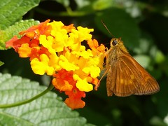 Yehl Skipper (rstickney37) Tags: hesperiidae skipper poanes poanesyehl yehlskipper northcarolinabutterflies