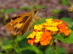 Yehl Skipper female (rstickney37) Tags: hesperiidae skipper poanes poanesyehl yehlskipper northcarolinabutterflies