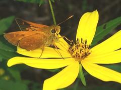 Yehl Skipper male (rstickney37) Tags: hesperiidae skipper poanes poanesyehl yehlskipper northcarolinabutterflies