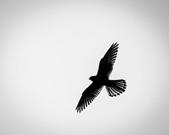 No cares (Stu Thatcher) Tags: blackandwhite bw stu stuart thatcher canon 7d m2 sihlouette bird raptor prey