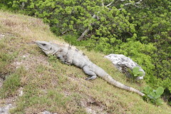 Black Spiny-tailed Iguana (Ctenosaura similis) (jd.willson) Tags: jd willson jdwillson nature wildlife belize xunantunich mayan ruins maya black spinytailed iguana ctenosaura similis