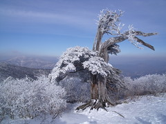 Frosted Yew Tree (Ian #9) Tags: mountain landscape outdoor nature season winter frost snow tree yew ridge