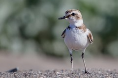 Kentish Plover (Phil Gower Bird Photography) Tags: kentish plover