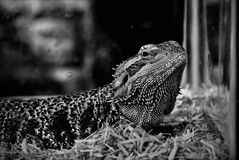 Bearded Dragon (Janine J. Nelson) Tags: beardeddragon animals blackandwhite