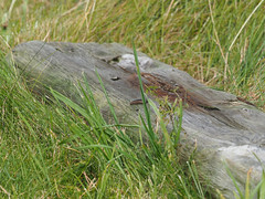 M2105295 E-M1ii 300mm iso200 f8 1_320s 0.3 (Mel Stephens) Tags: 20190910 201909 2019 q3 4x3 wide olympus mzuiko mft microfourthirds m43 300mm pro omd em1ii ii mirrorless gps truecolor uk scotland aberdeenshire st cyrus animal animals coast coastal nature wildlife fauna lizard reptile