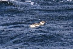 Guillemot (Dougie Edmond) Tags: scotland unitedkingdom bird sea ferry boat ship nature wildlife ocean