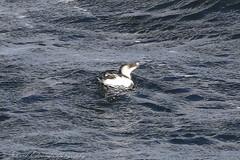 IMG_6545 (Dougie Edmond) Tags: scotland unitedkingdom bird sea ferry boat ship nature wildlife ocean