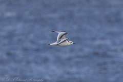 Juv Kittiwake (Dougie Edmond) Tags: scotland unitedkingdom bird sea ferry boat ship nature wildlife ocean