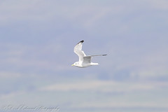 Kittiwake (Dougie Edmond) Tags: scotland unitedkingdom bird sea ferry boat ship nature wildlife ocean
