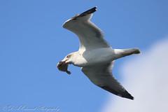 Flounder Gull (Dougie Edmond) Tags: isleofarran scotland unitedkingdom bird sea ferry boat ship nature wildlife ocean