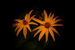 Sunshine on a Dark, Rainy Day (Dave Linscheid) Tags: sunflowers raindrops summer yellow butterfield watonwancounty minnesota mn smartphotoeditor