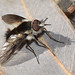 Acreotrichus sp