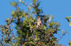 Blackcap (female)-5057802 (seandarcy2) Tags: birds wild wildlife blackcap chiffchaff ivinghoebeacon bucks uk avian warblers