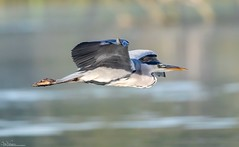 Heron on the wing (Steve (Hooky) Waddingham) Tags: animal countryside nature bird british wild wildlife water flight fish photography planet heron grebe