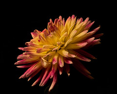 Lift Off 0920 (Tjerger) Tags: nature beautiful beauty black blackbackground bloom blooming closeup fall flora floral flower macro plant portrait red single wisconsin yellow dahlia liftoff natural detail