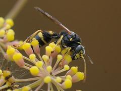 Gorytes laticinctus (Tim Worfolk) Tags: goryteslaticinctus crabronidae