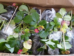 September 2nd, 2019 Strawberry plants for next year have arrived (karenblakeman) Tags: cavershamgarden caversham uk strawberries plants fruit suttons 2019 2019pad september reading berkshire