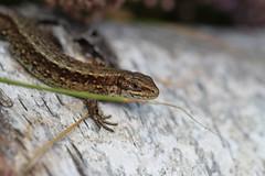 Woodland dragon. (ChristianMoss) Tags: viviparous lizard zootoca vivipara reptile eppingforest common outside