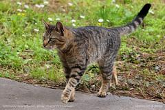 Grazia (srkirad) Tags: animal cat grazia ellegance walk grass foliage travel outside outdoors niškabanja serbia srbija bokeh blur closeup dof depthoffield
