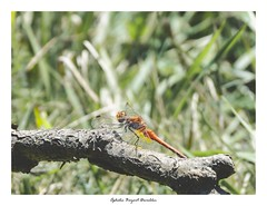 (ophéliebayart-devulder) Tags: libellule dragonfly insecte insect nature proxi macro
