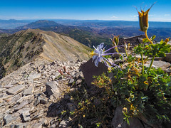 Nebo Columbine In Situ (xjblue) Tags: 2019 mtnebo utah highpoint hike mountain mountains nature outdoor wasatch wildflower wasatchmountains flora landscape scenic flower