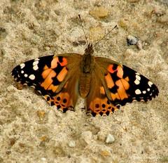 Butterfly (galterrashulc) Tags: latvia riga jugla butterfly fauna nature sand summer latvija lettland olympus sp550uz irina galitskaya galterrashulc insect