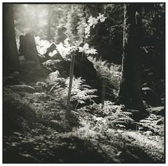 Forrest (Mark Dries) Tags: markguitarphoto markdries switzerland yashicamat lumaxar 3580 tlr mediumformat 6x6 film filmphotography darkroomprint print rollei rolleivintagepaper 332 rc selenium