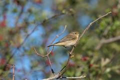 Chiffchaff-5057865 (seandarcy2) Tags: birds wild wildlife blackcap chiffchaff ivinghoebeacon bucks uk avian warblers