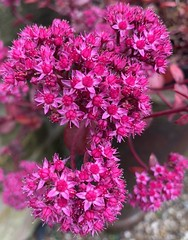 Sedum pinks (markshephard800) Tags: bloemen blumen flores fiori fleurs flowers flora pink sedums