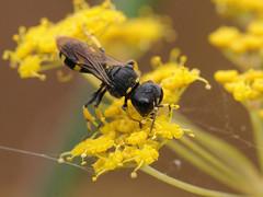 Ectemnius continuus (Tim Worfolk) Tags: ectemniuscontinuus crabronidae