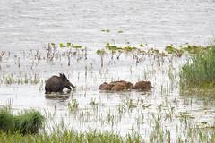 Wildschweine, Familienausflug (naturgucker.de) Tags: ngid351987297 susscrofa wildschwein