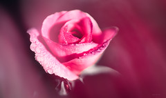 fragrant (Simon[L]) Tags: rose pink hss canon50mmf15ltm