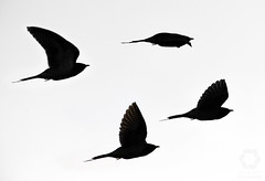 Flock of flying cuckoos (Jekurantodistaja) Tags: cuckoo commoncuckoo cuculuscanorus bird wildlife nature avian animal birds outdoors fly flying bw blackandwhite silhouette monochrome minimalism minimalist beak wing ornithology birdwatching finland suomi espoo finnish birdlife autumn fall september scandinavia nordic birdie wood wooden featureless shape outline flock mustavalko käki gök lintu syysmuutto кукушка kukushka nikon d850 europe cuculo coucou koekoek kuckuck kukačka art artistic fineart linnut silueta siluett силуэт sylwetka silhueta cool wow birdmigration minimalistinen taide シルエット cuco カッコウ 뻐꾸기 布谷鸟 侧影 silhouet