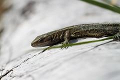 Male Common Lizard. (ChristianMoss) Tags: viviparous lizard zootoca vivipara reptile eppingforest common outside