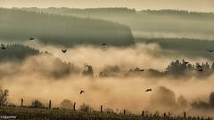 14092019-DSC_0067 (vidjanma) Tags: oiseaux brume corbeaux