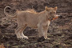 Lion cub with plastic bottle (eckkheng) Tags: lion lioncub lionbaby plasticbottle pollution envirnoment green africa southafrica safari bigfive