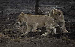 Lion cubs with plastic bottle (eckkheng) Tags: lion cub cubs lioncubs lioncub lionbabies lionbaby plasticbottle pollution southafrica africa safari environment green bigfive