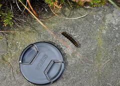 _DSC6445 (petefreeman75) Tags: georgegapcauseway trod fryup rosedale nikond90 nikon d90 sigma1020mm causeway pannierway path moors heather northyorkshire northyorkmoors northyorkmoorsnationalpark caterpiller