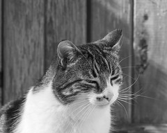 Sleepy thoughts (Picture-Perfect Cats) Tags: spyder tabby cat portrait eyesclosed sleepy dreamy happy outdoors
