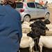 Somali man in the sheep market, Woqooyi Galbeed region, Hargeisa, Somaliland