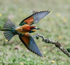 avejaruco, bee eater (barragan1941) Tags: avejaruco birds pajaros flying nature wild coulors